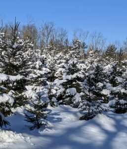 This is the Christmas tree field across from my compost piles. I planted a total of 640 Christmas trees in this field – White Pine, Frasier Fir, Canaan Fir, Norway Spruce, and Blue Spruce. They've grown so much since they were planted in 2009.
