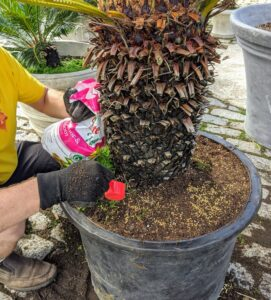 Here's my head gardener, Ryan McCallister, using Osmocote after repotting this big sago palm. the prills are scattered atop the soil or incorporated into the soil. As the plant is watered, the nutrients are mixed in with the soil for plant roots to absorb.