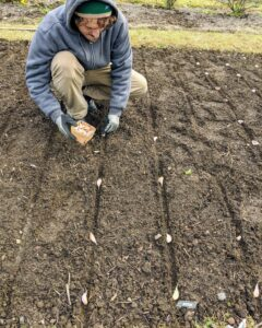 The garlic is planted in a large bed behind my main greenhouse. When planting garlic, look for the largest most robust bulbs and then carefully separate all the cloves before planting in the ground.