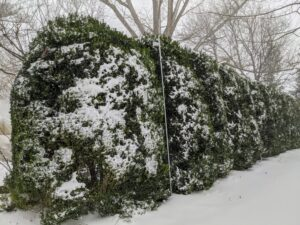 The tall American boxwood that surrounds my Summer House garden is netted and wrapped tightly together to prevent heavy snow from damaging the shrubs and splaying their branches.
