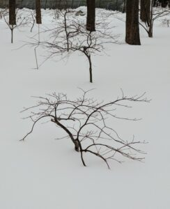Thankfully, all the young Japanese maple trees are intact. All my garden trees are always well-mulched to protect the roots from winter damage.