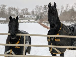 My Friesians and Fell pony always enjoy their time outdoors. In fact, they much prefer this weather to the hot humid days of summer. Here, Banchunch and Bond stop and look at the camera.