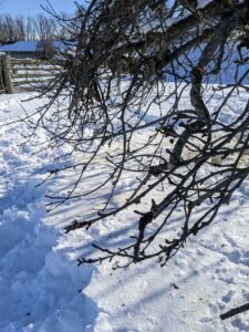 I always remind the crew to limb up the branches, so they do not touch the ground. These branches are all about a foot above the snow, which means they are about two feet off the ground.