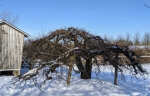 """This old tree near my corn crib was also pruned. Crutches made from other felled trees support the heavy branches of this apple tree. The natural """"V"""" shaped notches in the trunks are perfect for this purpose."""