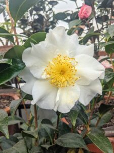 Different varieties of camellias come in various shapes: anemone, single, semi-double, formal double, rose-form double and peony form. Their flowers are usually large and can be about four-inches in diameter.