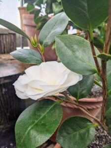 The camellias flowers are mainly white and shades of pink or red, and various combinations.