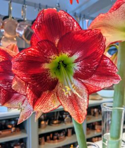 And so many stunning amaryllis this year! All the gorgeous amaryllis bulbs came from Colorblends in nearby Bridgeport, Connecticut.