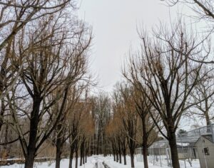 Here are the lindens located next to my pigeon yard not far from the stable. This photo was taken just before pruning began. It was a very cloudy day with more snow in the forecast, but not too windy so it was perfect for some high tree work.