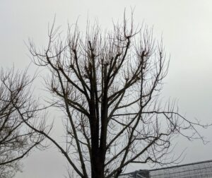 The best time to prune and pollard trees is when the trees are dormant, during the cold winter months. It's best to complete all pruning before early spring when the buds begin to form. Dormancy pruning reduces the amount of stress placed on the tree. The reduced flow of fluids in the tree during the time helps the pruning wounds heal quicker.