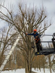 This entire process takes a few days to do properly by hand, but it is all worth the efforts to have well-manicured, healthy trees. Each year the long slender shoots that grow below the cuts will be removed, and a set of new shoots will develop creating a gnarled appearance.