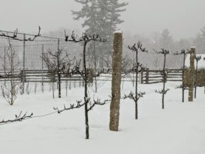 This is the espalier of Asian pear trees we planted last summer in front of the peafowl pen. Espalier refers to an ancient technique, resulting in trees that grow flat, either against a wall, or along a wire-strung framework. Many kinds of trees respond beautifully to the espalier treatment, but fruit trees, like apple and pear, were some of the earliest examples.