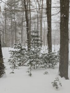 These young trees seem to be faring okay - the snow does not seem to be weighing down the branches too much.