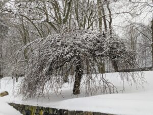 Here is one of two weeping cherry trees down behind my stable, also covered in snow. A weeping cherry tree is at its best when the pendulant branches are covered with pink or white flowers.