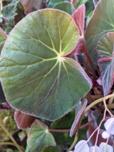 The foliage on this begonia is bold green on one side...