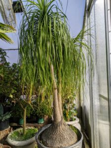 The plants grow a little more each year, so the placement of these specimens changes every time they are stored. Beaucarnea recurvata, the elephant's foot or ponytail palm, is a species of plant in the family Asparagaceae, native to the states of Tamaulipas, Veracruz and San Luis Potosí in eastern Mexico. Despite its common name, it is not closely related to the true palms. In fact, it is a member of the Agave family and is actually a succulent. It has a bulbous trunk, which is used to store water, and its long, hair-like leaves that grow from the top of the trunk like a ponytail, giving the plant its renowned name.