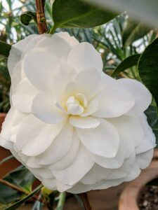 'Ragland Supreme' is a multi-stemmed evergreen shrub with an upright spreading habit of growth and milk white blooms.
