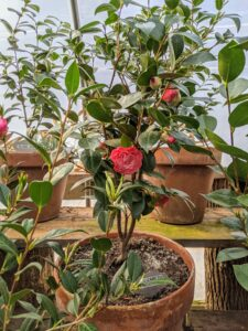 Camellias like ample moisture and well-drained soil.