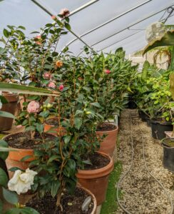 And then on this side of the greenhouse are my camellias. I brought several plants back from Nuccio's Nurseries, Inc. in Altadena, California. Camellias thrive in mild climates from California to Florida and are available in thousands of cultivars. The most common species of camellias are Camellia japonica and Camellia sasanqua.