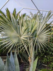 This is a Bismark palm, Bismarckia nobilis, which grows from a solitary trunk, gray to tan in color, and slightly bulging at the base. The nearly rounded leaves are enormous and are divided to a third its length into 20 or more stiff, once-folded segments.
