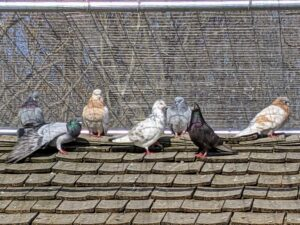 Here are some of my pigeons on the roof. My Bedford flock started with 10-pairs of birds, which included breeds such as Dunn Tipplers, Egyptian Swifts, Damascenes, and Isabella Tipplers. Pigeons come in a wide range of colors and markings. An adult pigeon is about 13 inches in length and can weigh up to 20 ounces.