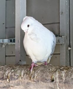 Here is an Owl pigeon watching from its perch on the ladder. Pigeons are very observant and one of the most intelligent of all the bird species. These birds also have a remarkable capacity to recognize and remember many things.