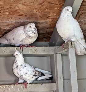 Pigeons are very docile, gentle, and sweet-natured birds – everyone at the farm loves visiting them.