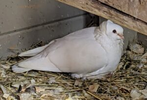 """This is one of my newer pigeons. It is an Old German Owl pigeon – a breed of fancy pigeon, and the originator of the short faced German Shield Owls. It was the first breed in Germany to be called Mövchen or """"Little Gull"""" due to its resemblance to the silver gull in color and markings. Under this bird are two hatchlings."""