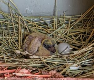 Hatchlings are very helpless at first, but pigeons develop very quickly and this baby will be learning to fly in a little over a month.