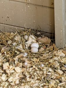 Once a hen lays one egg, she will usually lay the second one two days later.
