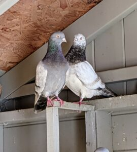 An adult female pigeon is called a hen and the adult male is called the cock. Bonded pairs usually mate for life.