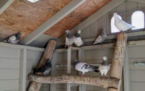 The pigeons are free to be inside or outside during the day, and then kept indoors overnight to protect them from predators. The dovecote is also fully enclosed for safety.