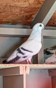 Pigeons breed all year round with peak breeding periods in spring and summer. This pigeon is a Damascene. Two of the most striking features of these beautiful birds are the dark plum eye ceres and the big bright eyes.