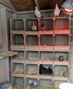 Along the back wall is a series of nesting boxes for the hens. We keep these shelters very dry to prevent bacteria and disease from developing. Water and moisture are the enemies. Pigeons can be messy, but it is important to keep their enclosures clean.