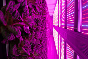 AppHarvest has also opened high-tech container farms at three Eastern Kentucky high schools to teach students how to grow their own food and the importance of eating healthy vegetables. The leafy greens grown by the students are distributed to those in need. The lighting makes everything appear purple in the photo. (Photo courtesy AppHarvest)