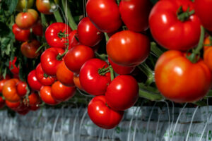 Here's a closer look at some of the tomatoes growing on the vine - all perfectly developed in this controlled hydroponic environment. (Photo courtesy of AppHarvest)