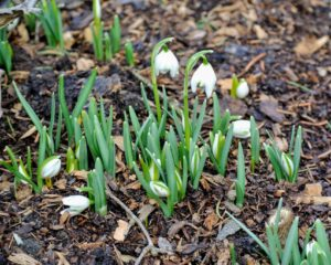 """Snowdrops produce one very small, pendulous bell-shaped white flower which hangs off its stalk like a """"drop"""" before opening."""