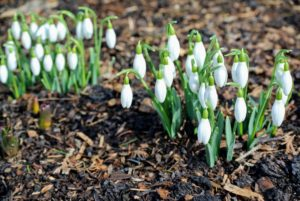 The flower heads can be 'single' – one layer of petals – or 'double' – multiple layers of petals. The snowdrop's grassy foliage is a vibrant light green. What are your favorite harbingers of spring? Share your comments below – I always enjoy reading them.
