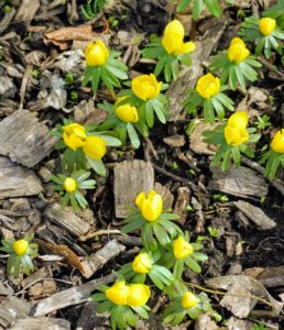 All around the farm, we're seeing signs of spring. Eranthis, or winter aconite, is a genus of eight species of flowering plants in the family Ranunculaceae – the Buttercup family.