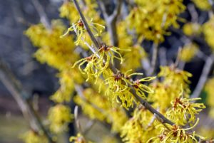 Witch-hazel is great for splashes of winter color. They're very hardy and are not prone to a lot of diseases. I have witch-hazel growing outside my Summer House and along one side of the farm near my stable.