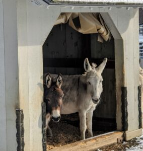 Here are Rufus and Clive peeking out from inside the run-in shed. When the weather is wet or windy, donkeys need access to a warm and dry shelter. A run-in is essential for donkeys. Donkeys originated in a desert climate, but are very hardy, provided they are given adequate accommodations.
