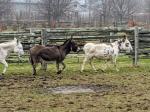 These are the original three Sicilian donkeys – Billie, Rufus and Clive. Here they are running around the paddock - wherever one goes, the others follow.