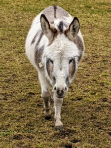 Whenever someone comes near, the donkeys start walking over to say hello. Do you know… a donkey is capable of hearing another donkey from up to 60 miles away in the proper conditions? They have a great sense of hearing, in part because of their large ears.