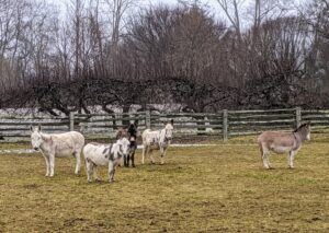 "Donkeys are herd animals, so they are often seen together in one group. Here are my five donkeys – Clive, Jude ""JJ"" Junior, Rufus, Billie, and Truman ""TJ"" Junior on the far right. They are in their large paddock just down the hill from my home."