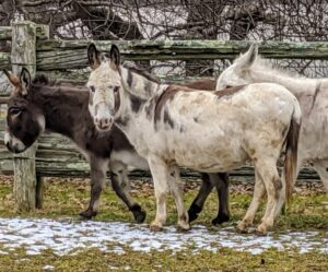 "Until Jude Junior came along, Billie was the only ""jenny"" or female donkey in the stable. Here she is with her best friends, Rufus and Clive - both males, also known as jacks."