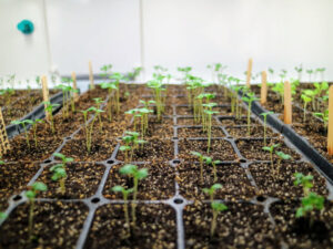 Once the seeds germinate, the domes are removed.