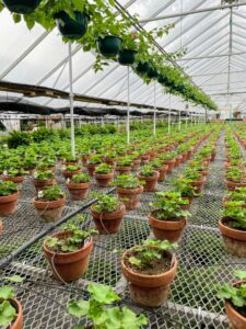 In another area are hundreds of geraniums in six-inch clay pots - all perfectly arranged and spaced.