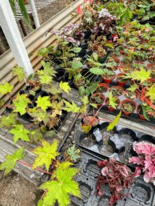 Here is a section of assorted begonias. I have a large collection of interesting begonias at my farm. Ryan picked up three more - Begonia cleopatrae, Begonia foliosa, and a Begonia Golden Swallowtail.
