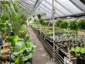 This is Pemberton's tropical greenhouse with another large selection of houseplants including the white Bird of Paradise in the lower left of this photo. I also have Birds of Paradise, Strelitzia nicolai. It is a species of banana-like plants with erect woody stems reaching a height of more than 20-feet.