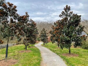 "Also on the grounds is this allee of 'Brackens Brown Beauty,' or Southern Magnolia trees, on the site's ""Botanical Trail."""