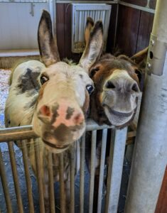Back in their stall, the donkeys are eagerly awaiting their dinner. Billie and Rufus are hoping it will come soon. Donkeys are generally calm, intelligent, and have a natural inclination to like people. Donkeys show less obvious signs of fear than horses. In fact, Rufus looks like he is smiling.